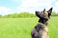 Belgian shepherd dog malinois. Belgian shepherd dog waits for orders Stock Photography