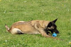 Belgian Shepherd dog Malinois who nibbles a ball toy. A belgian Shepherd dog Malinois who nibbles a ball toy Stock Photos