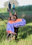 Belgian shepherd dog malinois at work Royalty Free Stock Photography