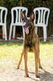 Belgian Shepherd Dog (Malinois). A young, beautiful, black and mahogany Belgian Shepherd Dog standing on the lawn sticking its tongue out. Belgian Malinois are Royalty Free Stock Image