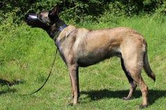 Belgian shepherd dog with muzzle. Armored Stock Images