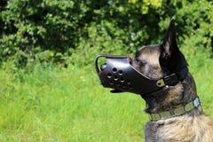 Belgian shepherd dog with muzzle. Armored Royalty Free Stock Photos