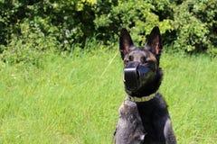 Belgian shepherd dog with muzzle. Armored Royalty Free Stock Photography