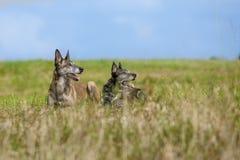 Belgian shepherd dog Royalty Free Stock Photography