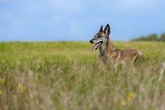Belgian shepherd dog Stock Photos