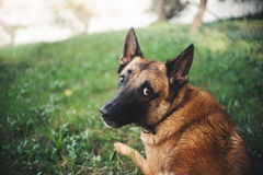 Belgian Shepherd Dog, portrait. Cute Belgian Shepherd Dog, portrait in summer Royalty Free Stock Images