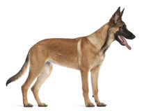 Belgian Shepherd Dog puppy, 5 months old. Standing against white background Royalty Free Stock Photos