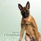 Belgian Shepherd Dog puppy panting, on christmas background. Belgian Shepherd Dog puppy panting, on a christmas background Royalty Free Stock Photo