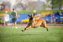 Belgian Shepherd dog running Royalty Free Stock Image