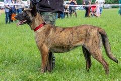 Belgian Shepherd Dog. Security dog Belgian shepherd on green grass Stock Photography