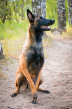 Belgian Shepherd Dog sitting in the park. Royalty Free Stock Image