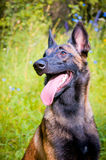 Belgian Shepherd Dog sitting in the park. Royalty Free Stock Photos