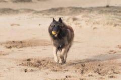 Belgian Shepherd Dog, Tervuren running in sand Royalty Free Stock Images