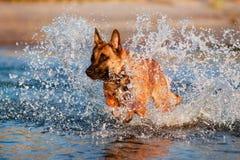 Belgian shepherd dog in the water. Belgian shepherd breed dog in the water Stock Photography
