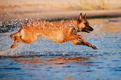 Belgian shepherd dog in the water. Belgian shepherd breed dog in the water Royalty Free Stock Images