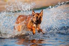 Belgian shepherd dog in the water. Belgian shepherd breed dog in the water Stock Images