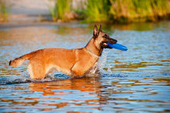 Belgian shepherd dog in the water Royalty Free Stock Photo