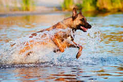 Belgian shepherd dog in the water Stock Photos