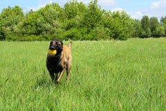 Belgian shepherd dog who brings his ball. Malinois Belgian shepherd dog who catch his ball Stock Photos