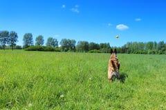Belgian shepherd dog who brings his ball. Malinois Belgian shepherd dog who jumps to catch his ball Stock Image