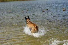Belgian shepherd dog who jumps into the water. To play Stock Photo