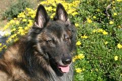 Belgian Shepherd Dog With Yellow Flowers Stock Photo