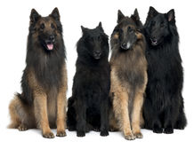 Belgian Shepherd Dogs. In front of white background stock image