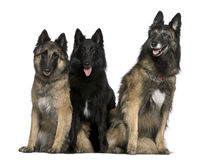 Belgian Shepherd dogs sitting Stock Image