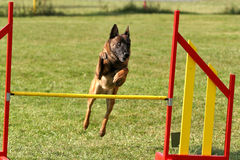 Belgian shepherd doing agility. Belgian shepherd - malinois jumping on agility course royalty free stock photos