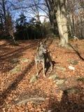 Belgian shepherd in forest Stock Image