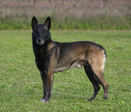 Belgian shepherd on grass. Portrait of purebred belgian shepherd malinois: attentive police dog Stock Photo