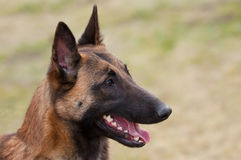 Belgian Shepherd. On the grass Stock Photos