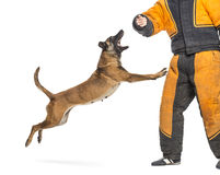 Belgian Shepherd jumping to attack trainer Stock Photos