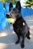 Belgian Shepherd K-9 Taylor providing security at National Tennis Center during US Open 2014 Royalty Free Stock Images