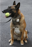 Belgian Shepherd K-9  Wyatt  providing security at National Tennis Center during US Open 2014 Royalty Free Stock Photo