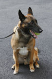 Belgian Shepherd K-9  Wyatt  providing security at National Tennis Center during US Open 2014 Royalty Free Stock Image