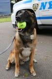 Belgian Shepherd K-9 Wyatt providing security at National Tennis Center during US Open 2014 Stock Photography
