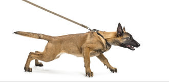 Belgian Shepherd leashed. Against white background Stock Photos