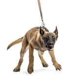 Belgian Shepherd leashed and aggressive. Against white background Stock Images