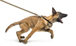 Belgian Shepherd leashed and aggressive. Against white background royalty free stock photo