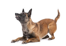 Belgian Shepherd lying in attack posture. Looking up against white background Royalty Free Stock Photography
