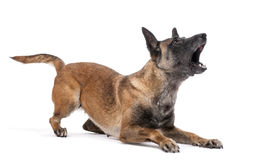 Belgian Shepherd lying in attack posture. And barking against white background Stock Photography
