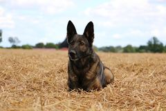 Belgian shepherd is lying on a stubble field. In the sunshine Stock Photography