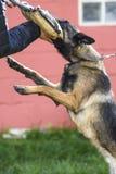 Belgian Shepherd Malinois in attack on mango Stock Photography