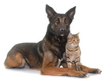 Belgian shepherd malinois and cat. In front of white background Stock Image