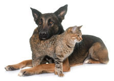 Belgian shepherd malinois and cat. In front of white background Stock Photo