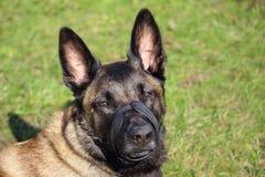 A belgian shepherd Malinois dog with muzzle looking towards us Royalty Free Stock Images