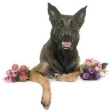 Belgian shepherd malinois. In front of white background Royalty Free Stock Photo