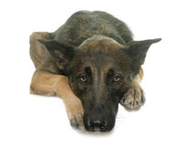 Belgian shepherd malinois. In front of white background Stock Photos