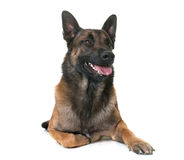Belgian shepherd malinois. In front of white background Stock Images